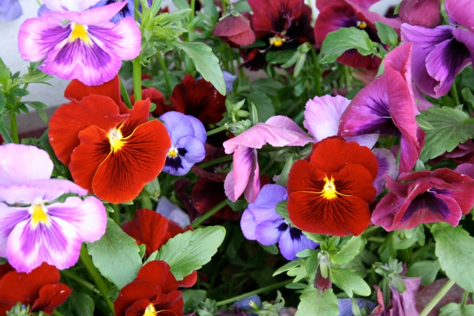 Pansies I saw while moving as I went through Mt. Shasta