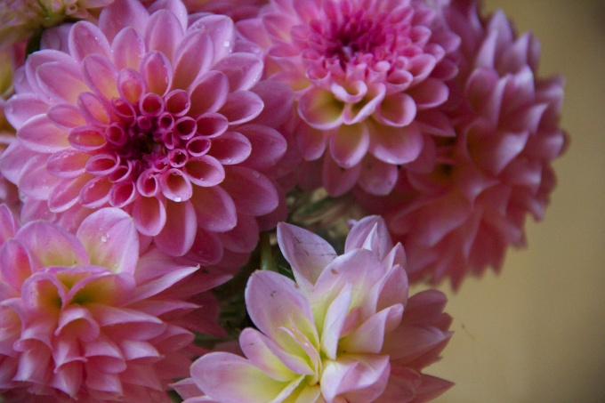 Dahlias from my Garden